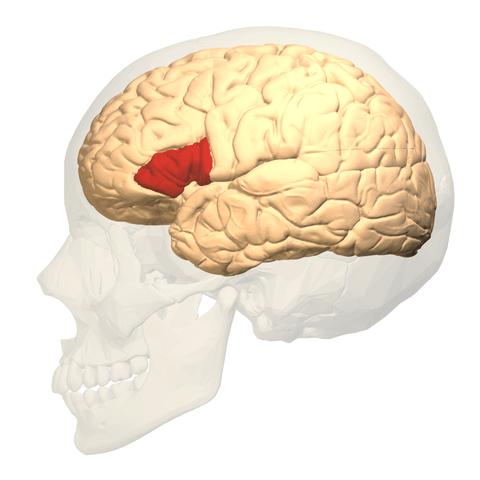 Área Broca: funções, anatomia e doenças 4