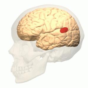 Área de Wernicke: funções e anatomia (com imagens) 1