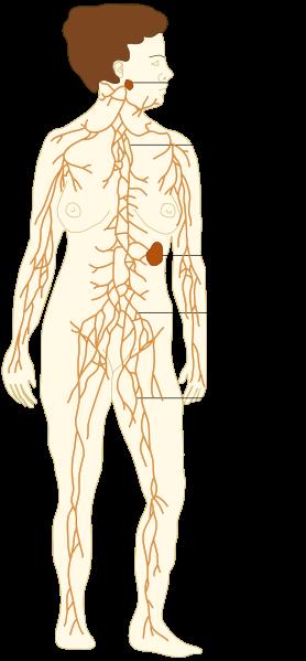 O que são órgãos linfóides secundários? 1
