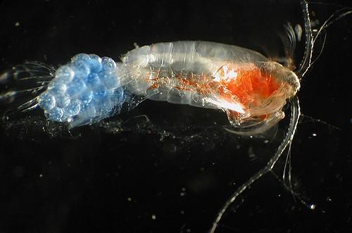 Copepoda: características, habitat, ciclo de vida e aplicações 1