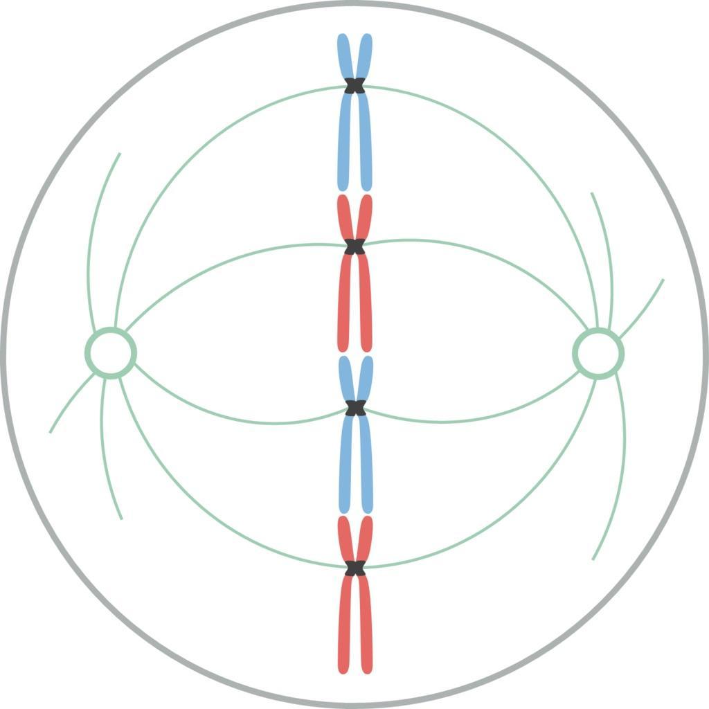 Divisão celular: tipos, processos e importância 5
