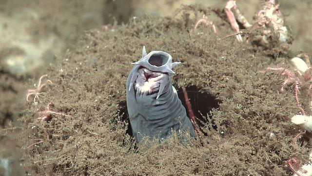 Myxini: características, habitat, alimentação, respiração 1