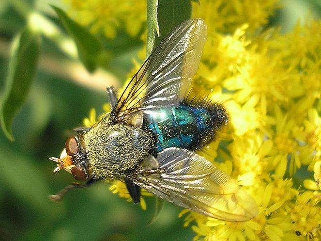 Entomologia Forense: história, que estudos e importância 1