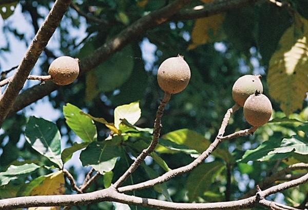 Como o Achiote e o Huito usam os Tsáchilas? 3