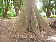 Ceiba pentandra: características, habitat, reprodução, usos 4
