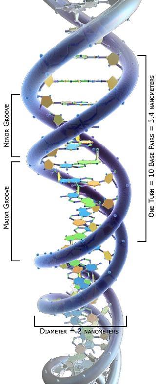Topoisomerases: características, funções, tipos e inibidores 2