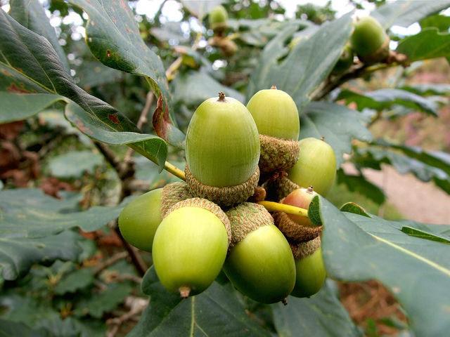 Quercus petraea: características, distribuição, reprodução 4