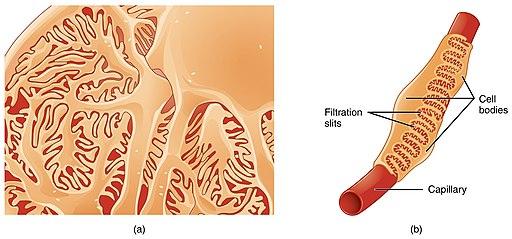 Podócitos: características, histologia e funções 1