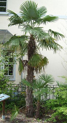 Palmeiras: características, habitat, propriedades, cultivo, espécies 12