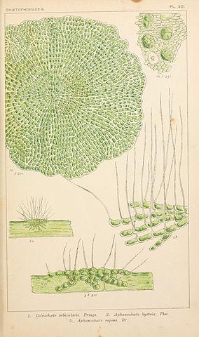 Algas verdes: características, habitat, tipos e propriedades 6
