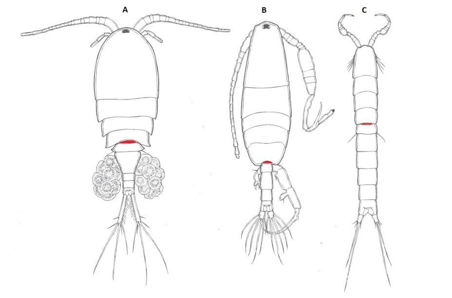 Copepoda: características, habitat, ciclo de vida e aplicações 3
