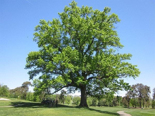 Quercus petraea: características, distribuição, reprodução 1