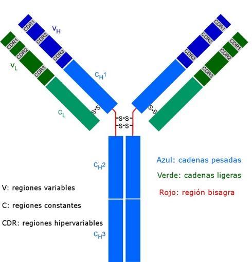 Imunoglobulina D: estrutura, função e valores normais 2