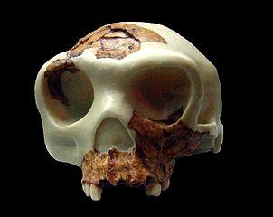 Homo Antecessor: Descoberta, Características, Caveira 2