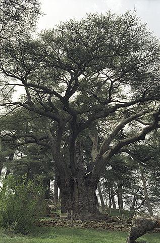 Cedros: características, habitat, espécies, usos e doenças 6