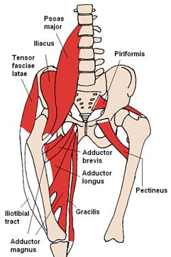 Psoas sinal: o que é, psoas anatomia muscular 1
