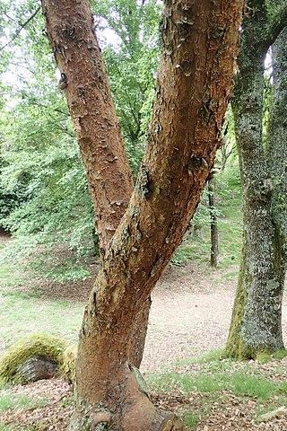 Pinus patula: características, habitat, taxonomia, usos, pragas 2