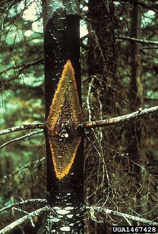 Pinus cembroides: características, habitat, usos e doenças 6