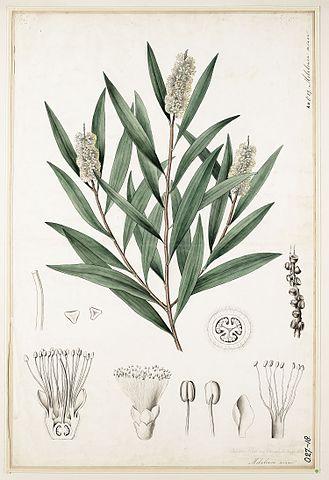 Melaleuca cajuputi: características, habitat, usos, pragas 2