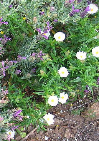 Cistus monspeliensis: habitat, propriedades, cuidados, doenças 5