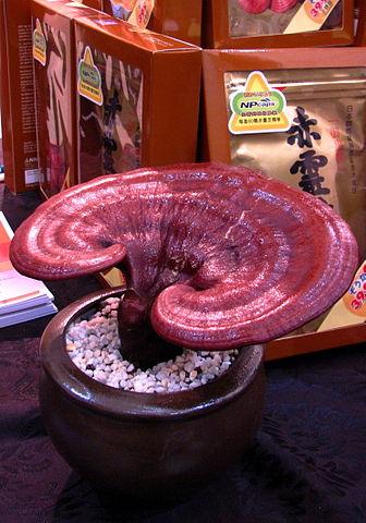 Ganoderma lucidum: características, habitat e benefícios 2