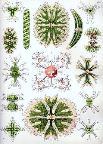 Algas verdes: características, habitat, tipos e propriedades 9