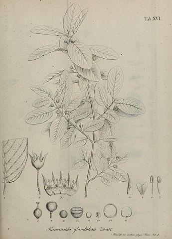 Karwinskia humboldtiana: características, habitat, usos 2