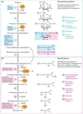 Glicólise aeróbica: reações glicolíticas e intermediários 1