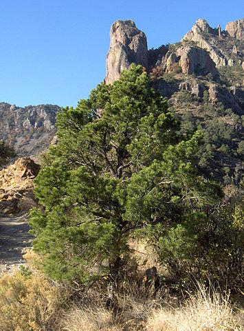 Pinus cembroides: características, habitat, usos e doenças 1