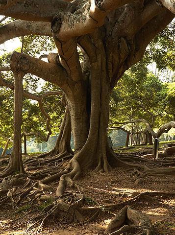 Ficus benjamina: características, reprodução, cuidados 3