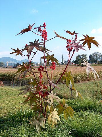 Ricinus communis: características, habitat, toxicidade, usos 2