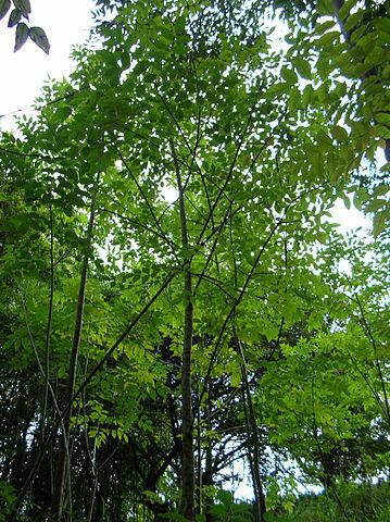 Fraxinus uhdei: características, habitat, usos e doenças 1