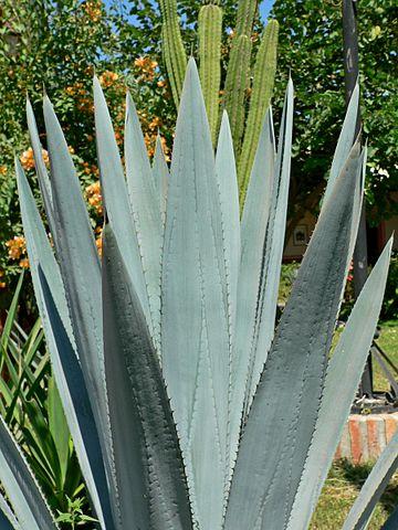 Tequilana de agave: características, habitat, usos, cultivo 2