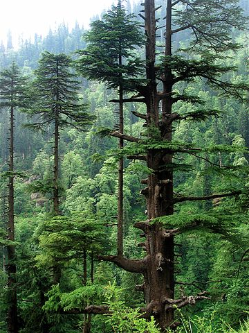 Cedros: características, habitat, espécies, usos e doenças 7