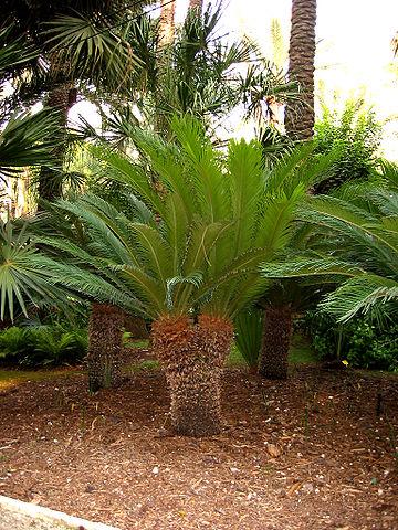 Cycas revoluta: características, habitat, toxicidade, cuidados 5