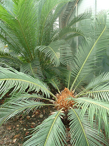 Cycas revoluta: características, habitat, toxicidade, cuidados 2