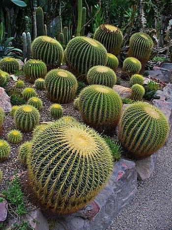 Echinocactus grusonii: características, cuidados e pragas 6