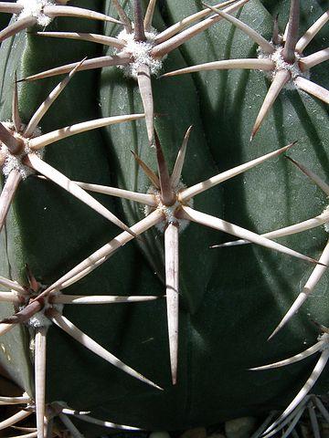 Echinocactus platyacanthus: características, habitat, usos 3