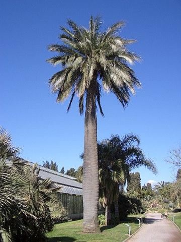 Palma chilena: características, habitat, usos, cultivo 6