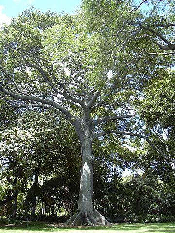 Ceiba pentandra: características, habitat, reprodução, usos 1