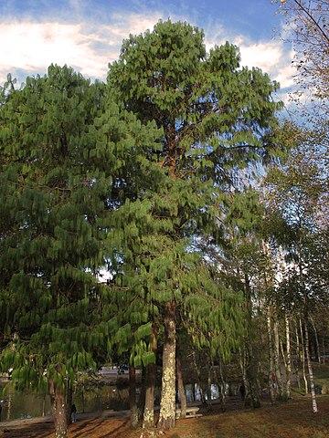 Pinus patula: características, habitat, taxonomia, usos, pragas 4