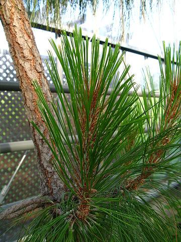 Pinus montezumae: características, habitat, taxonomia, usos 2