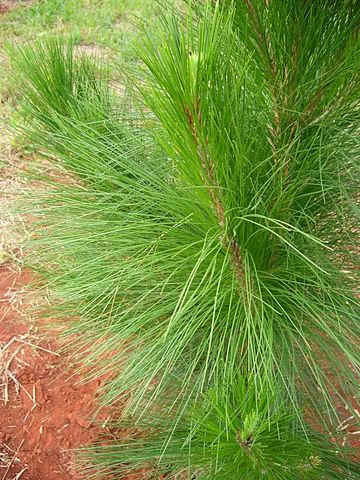 Pinus oocarpa: características, habitat, usos e cultivo 2