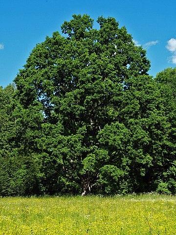 Encinos ou carvalhos (gênero Quercus): características, usos, espécies 12
