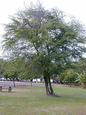 Mezquite: características, habitat, cultivo, cuidados e usos 4
