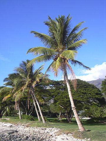 Palmeiras: características, habitat, propriedades, cultivo, espécies 9