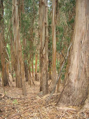 Eucalyptus globulus: características, habitat, importância e usos 2