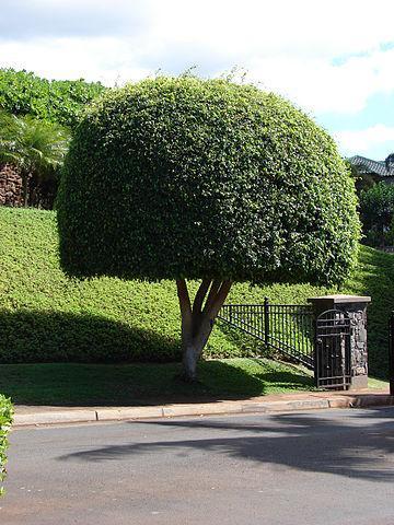 Ficus benjamina: características, reprodução, cuidados 1