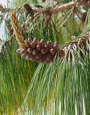 Pinus patula: características, habitat, taxonomia, usos, pragas 1