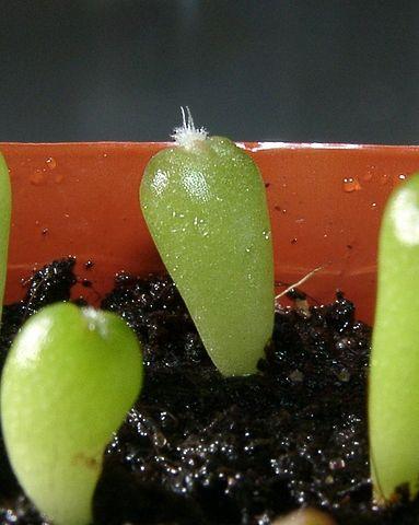 Echinocactus platyacanthus: características, habitat, usos 6